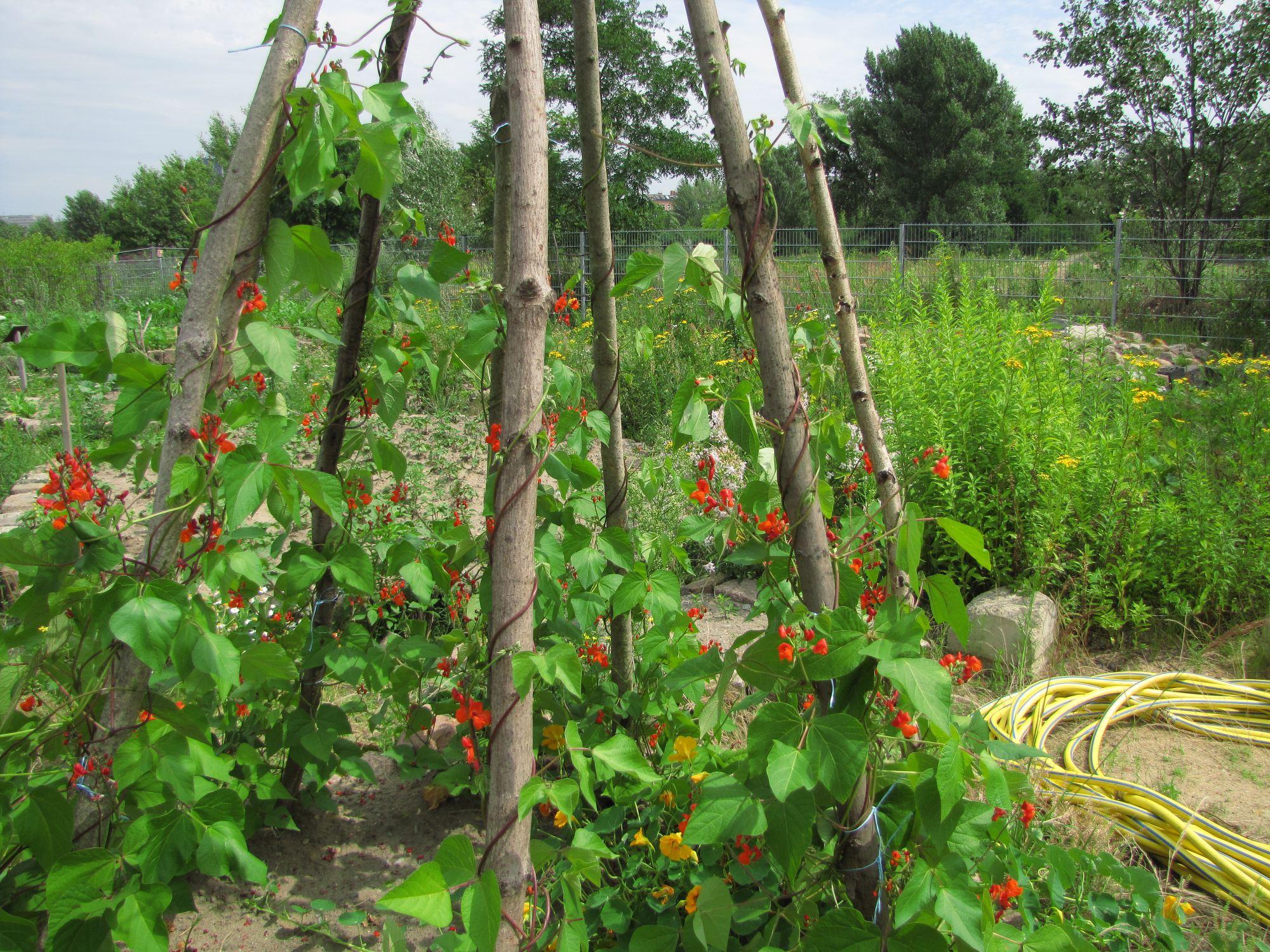 Stangenbohnen im rosenduftgarten regioneers for Berlin pflanzen